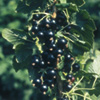 Blackcurrant Plant - Ben Connan