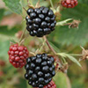 Blackberry Plant - Loch Tay