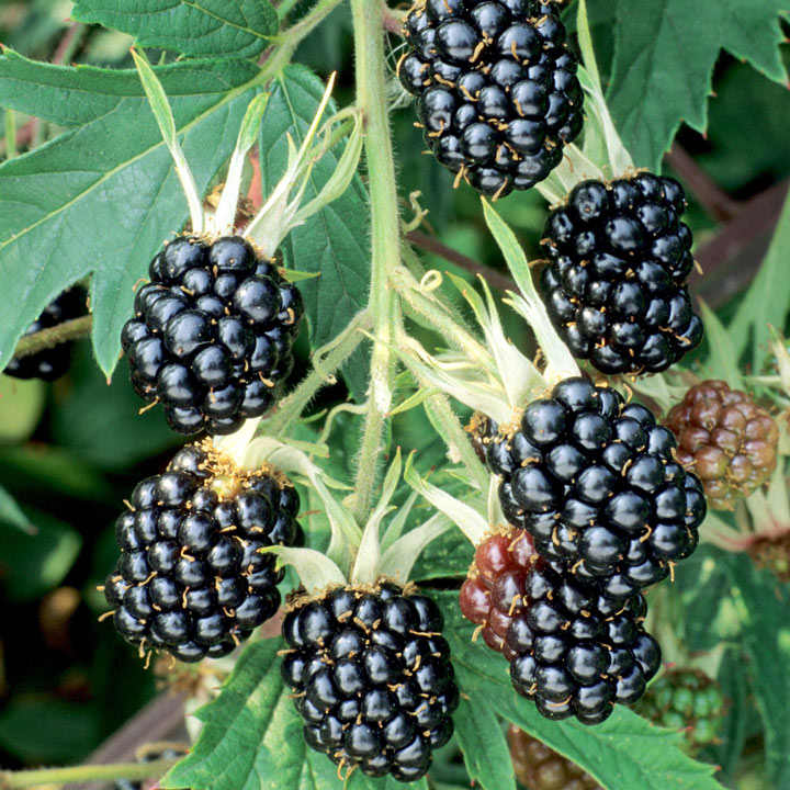 Blackberry Plant - Oregon Thornless