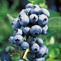 Blueberry Plant Rubel