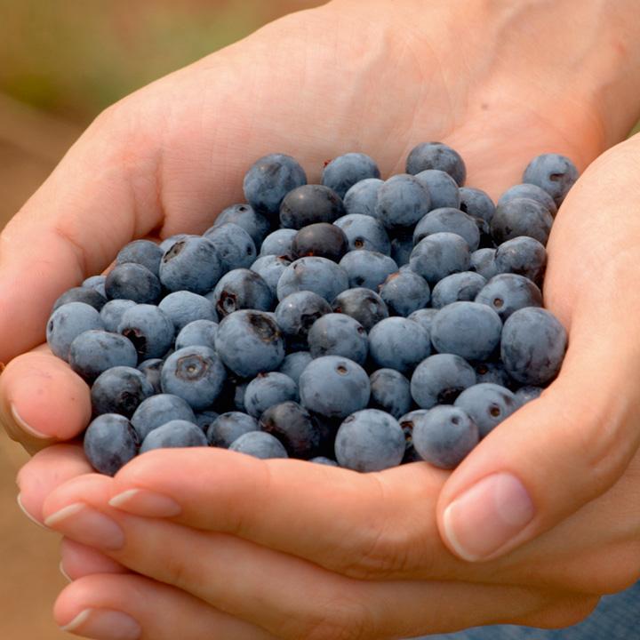 Blueberry Plant - Early Duke