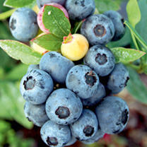 Blueberry Plant - Sunshine Blue
