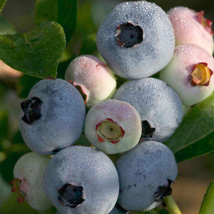 Blueberry Plant - Chandler