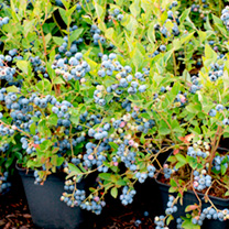 Blueberry Plant Bluesbrothers
