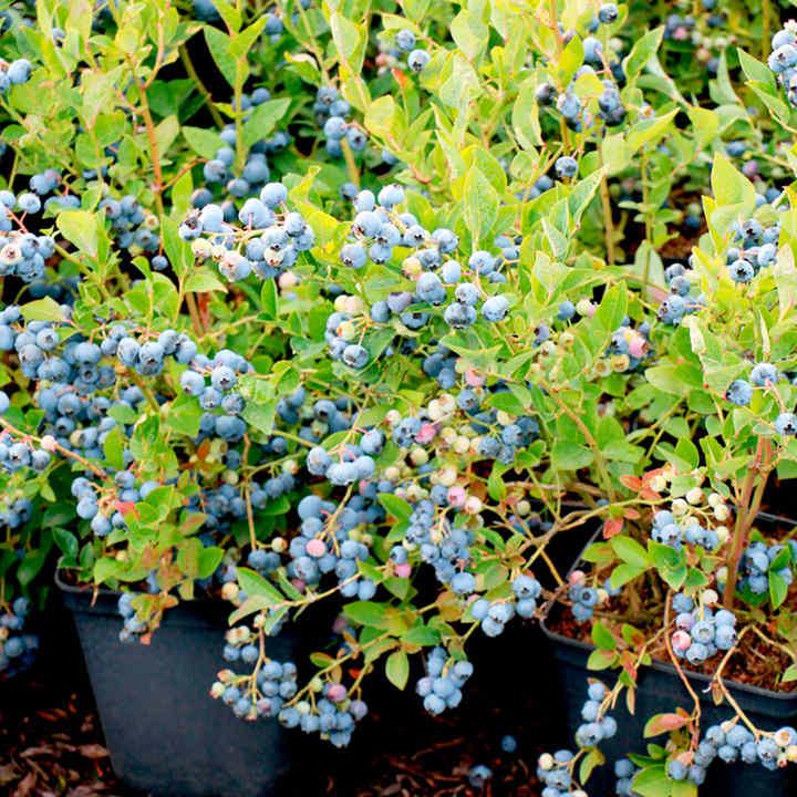 Blueberry Plant - Bluesbrothers®