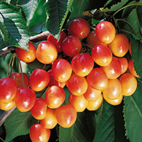 Cherry Tree - Napoleon Bigarreau