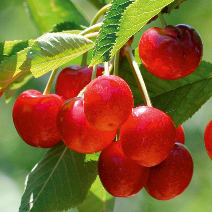 Summer Trees Fruit Cherry Tree Summer Sun