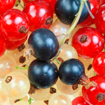 Currant Plants - Tricolour Collection