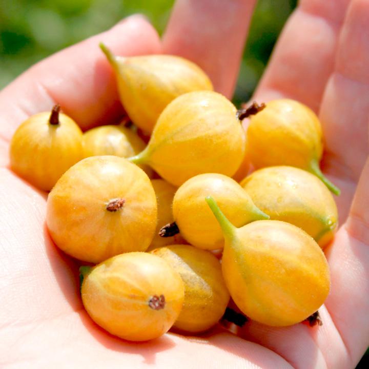 Gooseberry Crispa® Plant - Solemio®