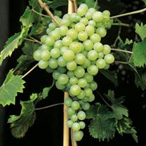 Grape Vine - Perlette
