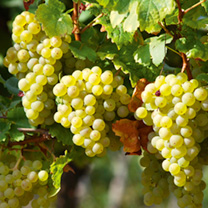 Grape Vine Perlette with a bottle of white wine