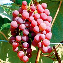 Grape Vine - Flame