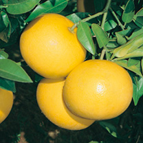Citrus Tree - Grapefruit