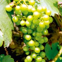 Grape Vine - Chardonnay