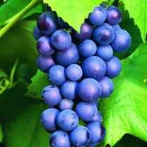 Grape Vine Plant - Boskoop Glory