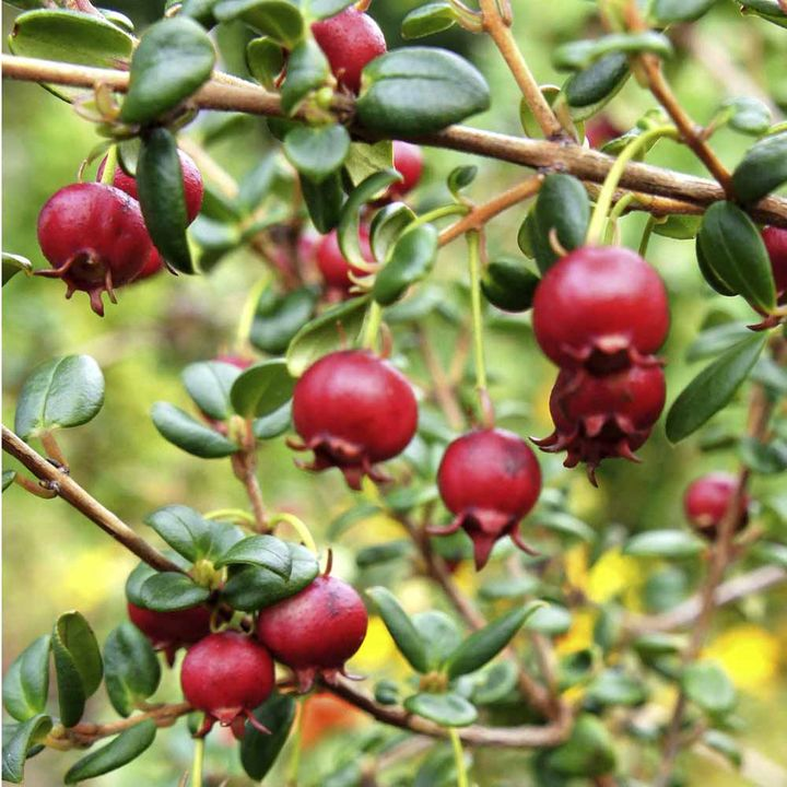 Chilean Guava Plant - 'KA-POW'
