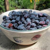 Haskap Berries Plant