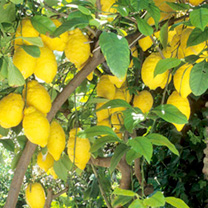 Lemon Tree - HALF PRICE