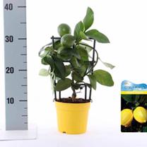 Mini Citrus Tree - Meyer Lemon