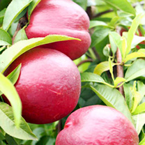 Nectarine Tree - Queen Ruby