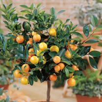 Mini Citrus Trees - Calamondin