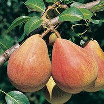 Pear Tree - Louise Bonne D'Avranches
