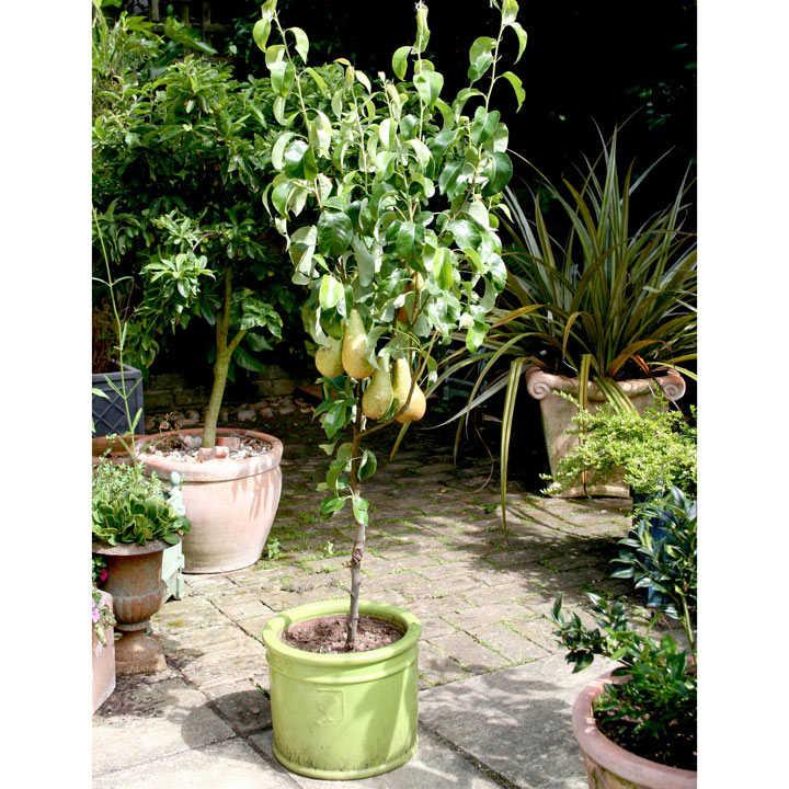 Pear Dwarf Fruit Tree - Conference