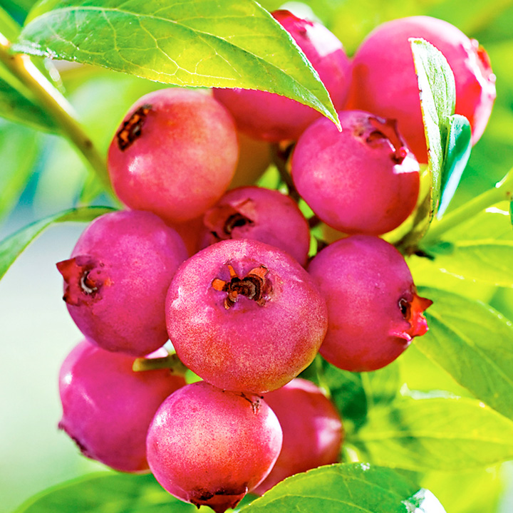 Blueberry Plant - Pink Lemonade