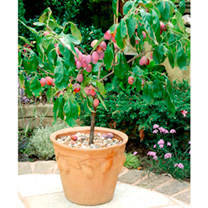 Plum Dwarf Fruit Tree - Victoria