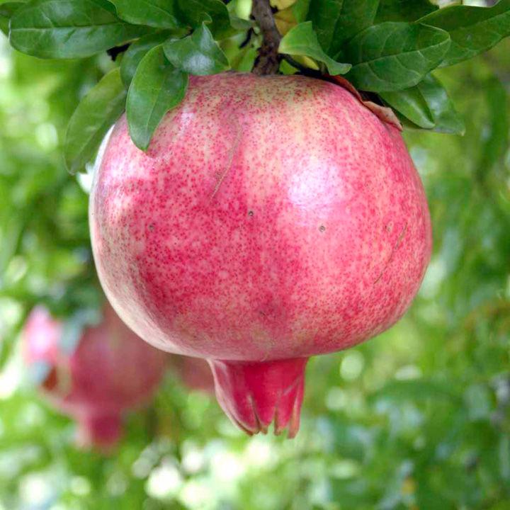 Pomegranate Plant - Provence - Dobies