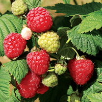 Raspberry Plants - Octavia