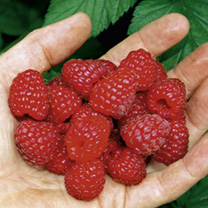 Sanibelle Raspberry Plants
