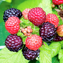 Black Raspberry Plant Jewel