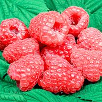 Raspberry Plants - Glen Dee