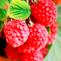 Raspberry Plant - Ruby Beauty