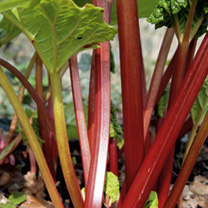 Rhubarb Plant - Stockbridge Arrow
