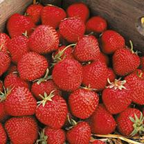 Strawberry Plants - Cambridge Favourite