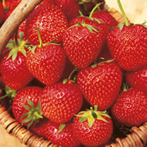 Fruit Trees & Bushes Strawberry Plants - Malling Opal