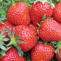 Top Strawberry Deal