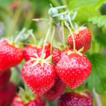 Strawberry 'Top Taste' Plant Collection