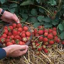 Strawberry Plants - Elsanta