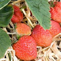 Strawberry Plants - Royal Sovereign
