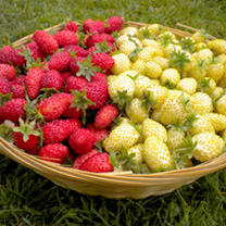 Strawberry Plants - Candy Cane