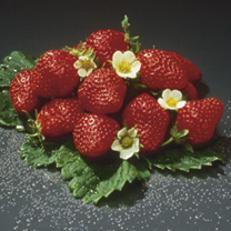 Strawberry Plants - Snow White & Mara des Bois Twin Pack