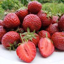 Strawberry Plants - Honeyoye