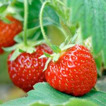 Strawberry Plants - Pegasus