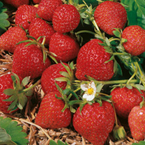 Strawberry Plants - Florence