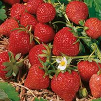Strawberry Plants - Florence
