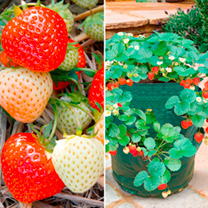 Grow your Own Strawberries Offer