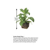 Bean (Dwarf French) Plants - Compass